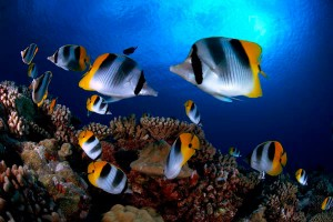 ButterflyFish_French_Polynesia01