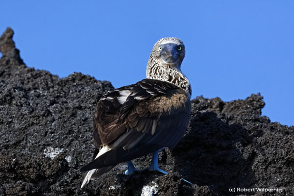 Blue-Footed_booby_ Galapagos