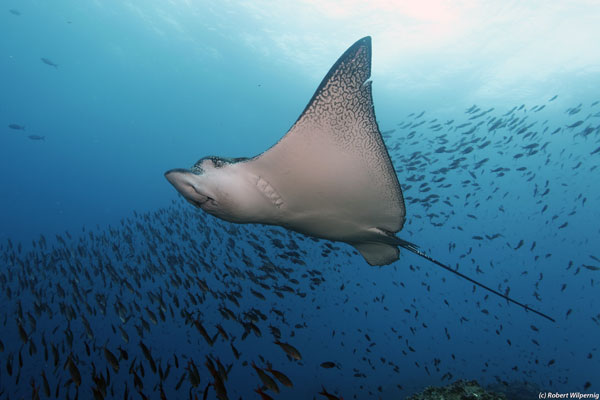 Eagle_ray_Galapagos
