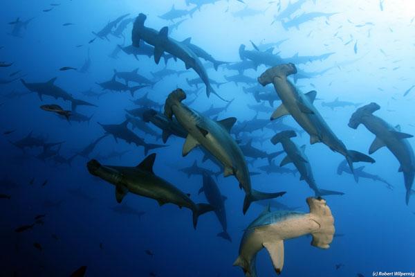 hammerhead_shark_school_ Galapagos
