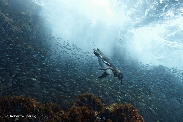 Galapagos_penguin