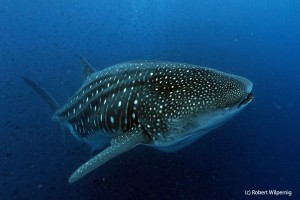 Galapagos_Whale_Shark