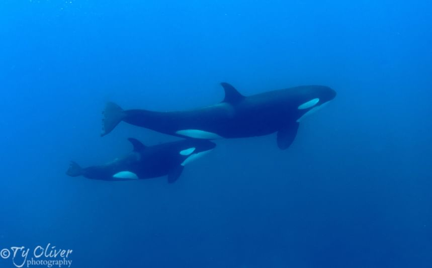 mam and calf orca in the Galapagos