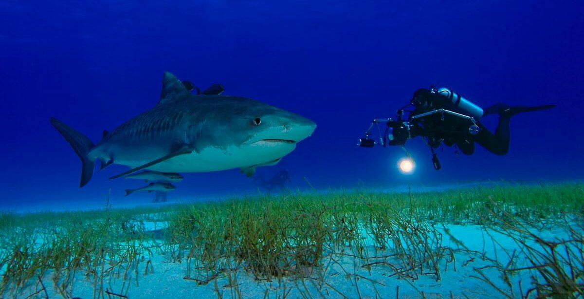 Tiger Shark by Robert Wilpernig