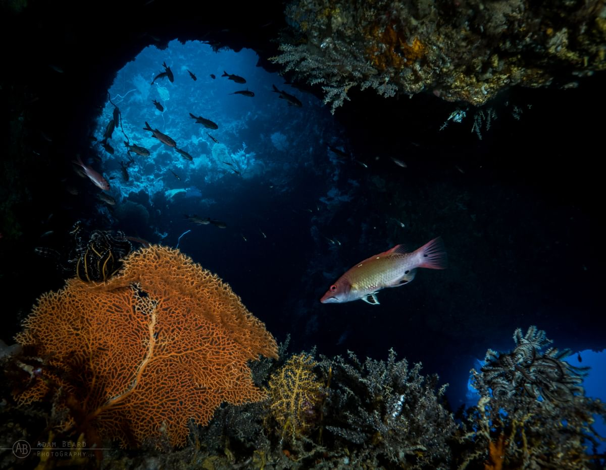 Wrasse in a tunnel in the Solomons