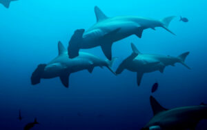 Some unusual facts about hammerhead sharks