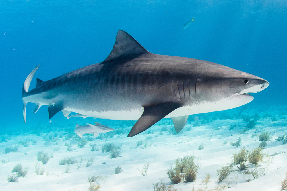Hammerheads, Tiger sharks Experience - 7 night itinerary