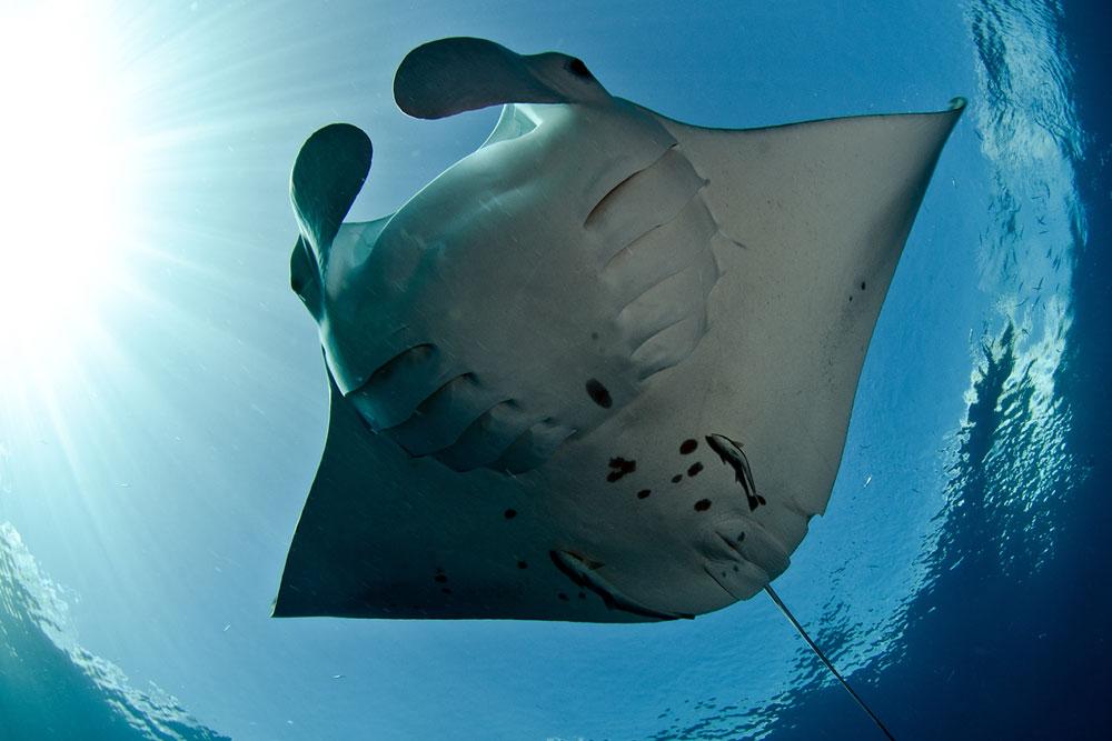 Manta Rays - Master the Galapagos
