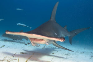 Dive Face To Face With Hammerhead Sharks, Oceanic White Tip Sharks And Tiger Sharks In The Bahamas