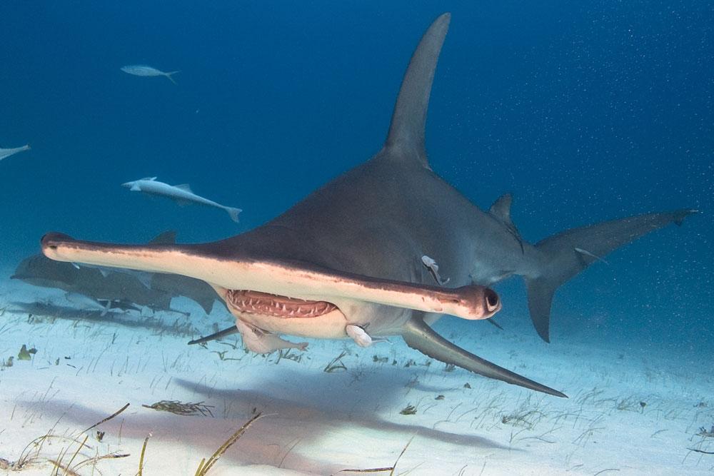 The Ultimate Bahamas - Hammerhead encounter