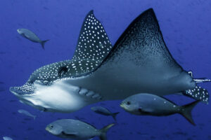Eagles Can Also Be Found Underwater! Facts You Didn't  Know About Spotted Eagle Rays