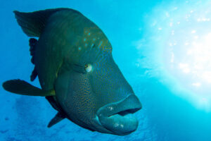 Interesting facts about Napoleon wrasse