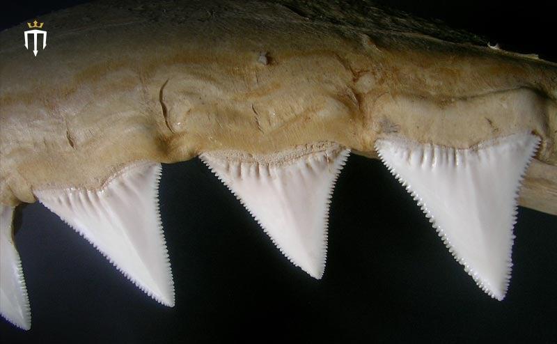 Flattened Shark Teeth