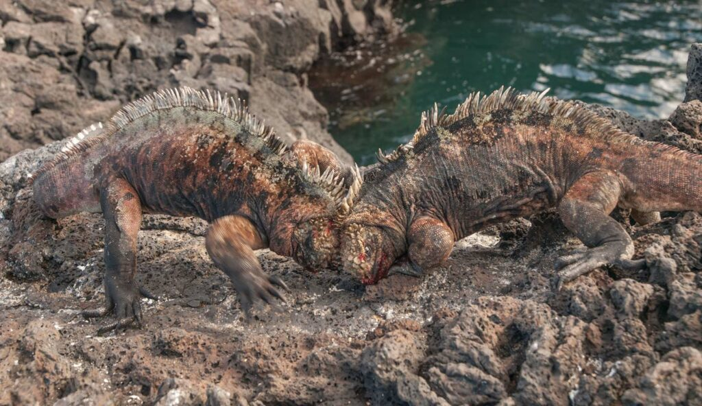 Galapagos Marine Iguanas fighting