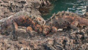 Marine iguanas in Galapagos