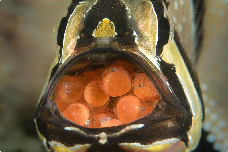 Cardinal Fish eggs - Happay Easter!