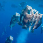 Spawning dives – what are they all about?