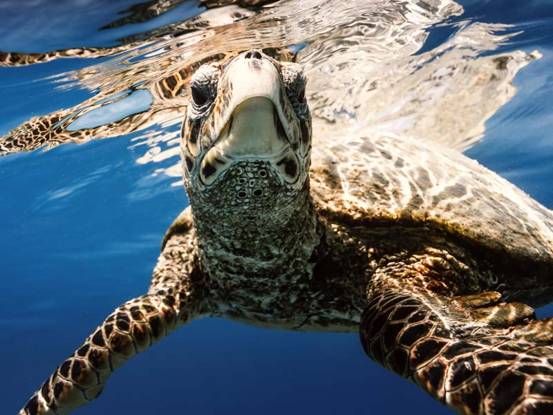 Sea turtle surfacing