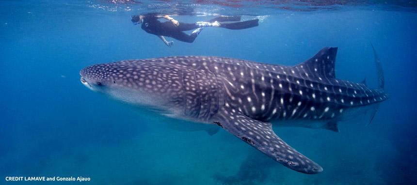 Whale shark - LAMAVE