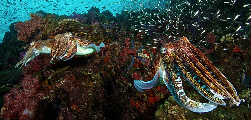 Cuttlefish at Richelieu Rock by Steve de Neef