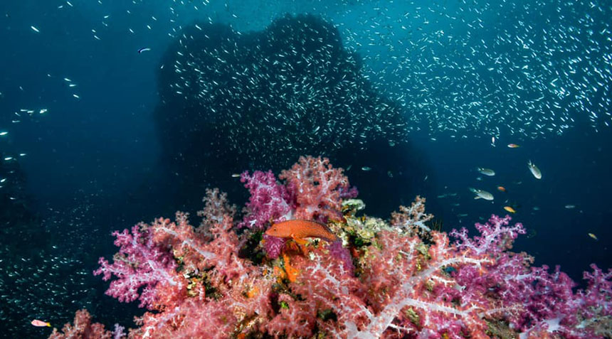 Soft corals at Thailand's best dive site
