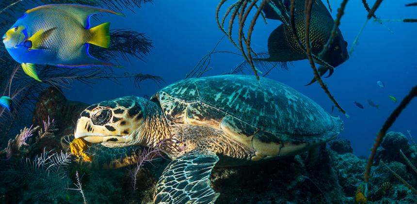 A Hawksbill Turtle on Hawksbill Reef
