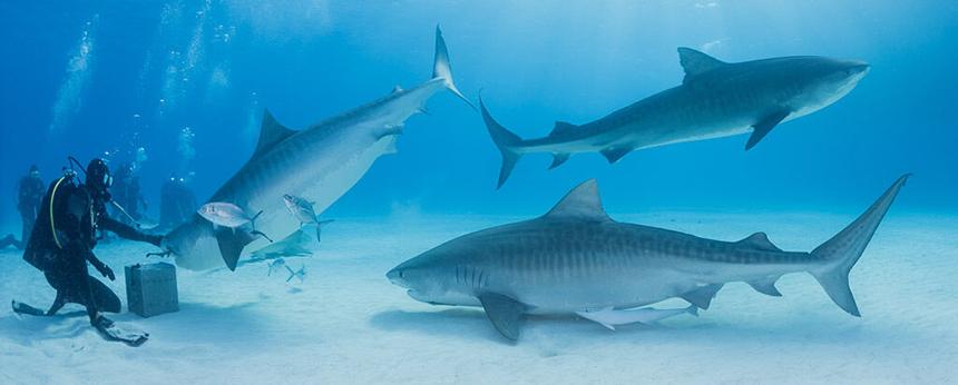 Pregnant Tiger Sharks at Tiger Beach