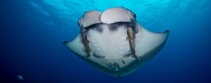 Photograph of a manta ray from below